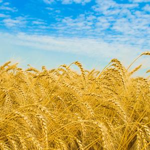 продаем пшеницу, ячмень, отруби,