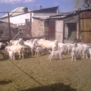 Продается заинские козы